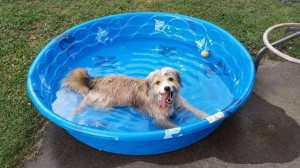 NBV Dog in pool