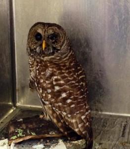 NBV Owl (7)