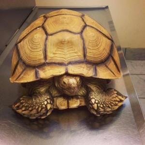 NBV tortoise turtle