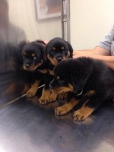 NBV 3 Rot Pups