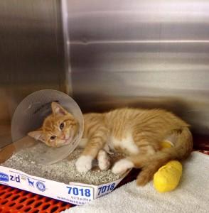 NBV orange cat