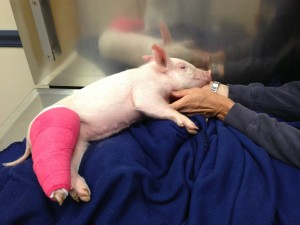 NBV pig in cast