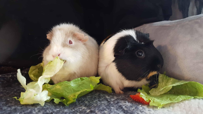 Guinea Pig Pic 1